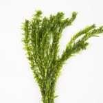 Elodea Densa - oxygen plant - aquarium plant - tropical plant - Pond Plant - Elodea crispa Replacement-0