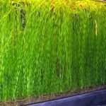 Valisneria Spiralis 'Tortifolia' (corkscrew) - oxygen plant - aquarium plant - tropical plant-0