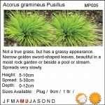 Acorus gramineus Pusillus - Marginal Pond Plants - Pond Plants - Water Plants-18105