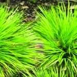 Acorus gramineus Pusillus - Marginal Pond Plants - Pond Plants - Water Plants-None-1 Ltr-0