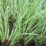 Acorus gramineus Argenteostriatus - Marginal Pond Plants - Pond Plants - Water Plants-0