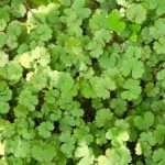 Hydrocotyle vulgaris Nova Zelandiae - Marginal Pond Plants - Pond Plants - Water Plants-0